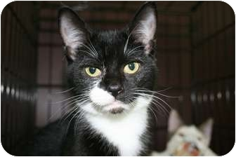 Domestic Shorthair Kitten for adoption in Frederick, Maryland - Dinky
