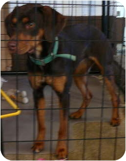 Doberman Pinscher Dog for adoption in New Plymouth, Idaho - Red Annie