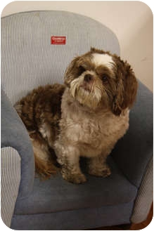 Shih Tzu Dog for adoption in Hamburg, Pennsylvania - Billy Joel