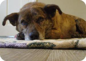 Dachshund/Corgi Mix Dog for adoption in Acushnet, Massachusetts - Finley