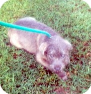 Terrier (Unknown Type, Medium) Mix Puppy for adoption in Columbia, South Carolina - Gizmo
