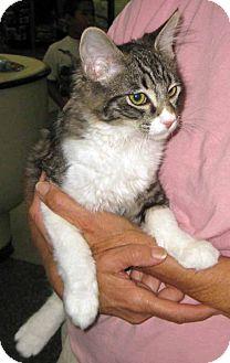 Domestic Mediumhair Cat for adoption in San Pedro, California - Bernie