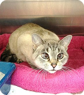 Domestic Shorthair Cat for adoption in Chino Valley, Arizona - Pebbles