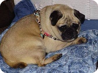 Pug Dog for adoption in Greensboro, Maryland - Lolli