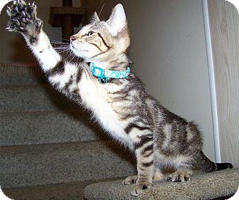 Domestic Shorthair Kitten for adoption in O'Fallon, Missouri - Jasper