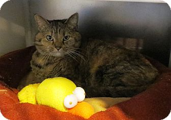 Domestic Shorthair Cat for adoption in Geneseo, Illinois - Claudette