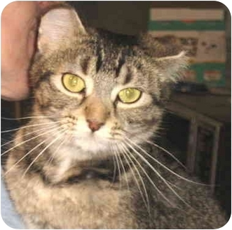 Domestic Shorthair Cat for adoption in Alden, Iowa - Stephanie