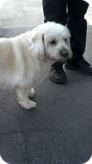 Dandie Dinmont Terrier/Poodle (Miniature) Mix Dog for adoption in China, Michigan - Angel