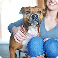 Adopt A Pet :: Alice - Des Peres, MO