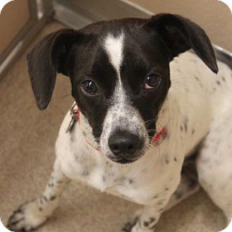 Terrier (Unknown Type, Medium) Mix Dog for adoption in Naperville, Illinois - Willa
