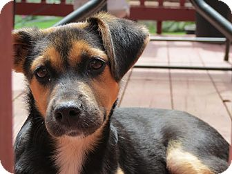 Labrador Retriever Mix Puppy for adoption in ST LOUIS, Missouri - Patsy