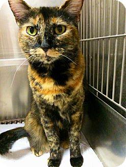 Domestic Shorthair Cat for adoption in El Cajon, California - Sammy