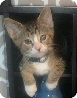 Domestic Shorthair Kitten for adoption in Gainesville, Florida - Moulton