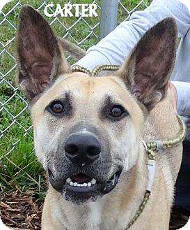 German Shepherd Dog/Shar Pei Mix Dog for adoption in Lapeer, Michigan - CARTER--FRIENDLY! SHEPHERD MIX