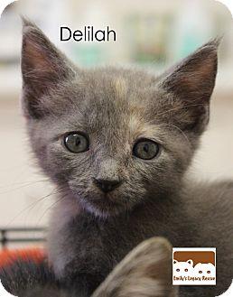 Calico Kitten for adoption in Wichita Falls, Texas - Delilah