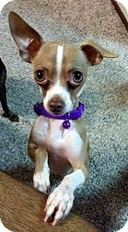 Chihuahua Dog for adoption in Oakley, California - Teacup Chapo