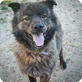 Chow Chow/Labrador Retriever Mix Dog for adoption in St. Francisville, Louisiana - Harry