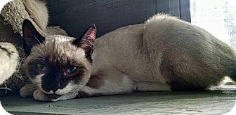Siamese Kitten for adoption in Savannah, Georgia - Tango