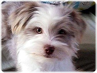 Shih Tzu Dog for adoption in Dallas, Texas - Penny
