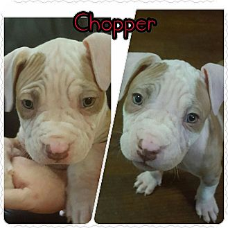 American Pit Bull Terrier Puppy for adoption in Dallas, Texas - Chopper