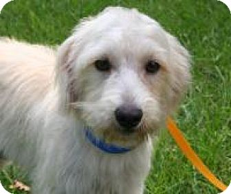 Poodle (Miniature)/Terrier (Unknown Type, Medium) Mix Dog for adoption in Houston, Texas - Lorenzo