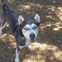 Siberian Husky Mix Dog for adoption in Scottsdale, Arizona - Abraham
