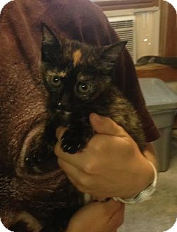 Domestic Shorthair Kitten for adoption in Cashiers, North Carolina - Pearl