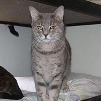 Domestic Shorthair Cat for adoption in New Bern, North Carolina - Bullet