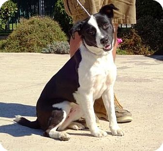 Border Collie Mix Dog for adoption in Lathrop, California - Jersey
