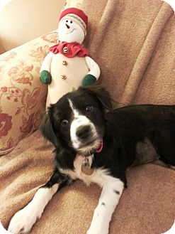 Border Collie Mix Puppy for adoption in Knoxville, Tennessee - Paris