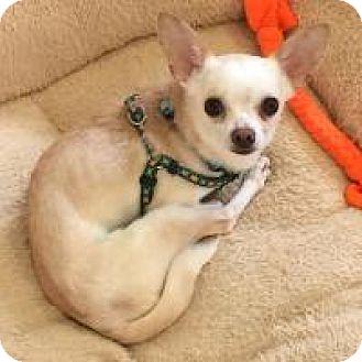 Chihuahua Dog for adoption in Mechanicsburg, Ohio - Jimmy