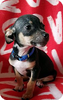 Chihuahua Mix Puppy for adoption in Philadelphia, Pennsylvania - Chai