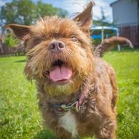 Adopt A Pet :: Dolly - Sherwood Park, AB