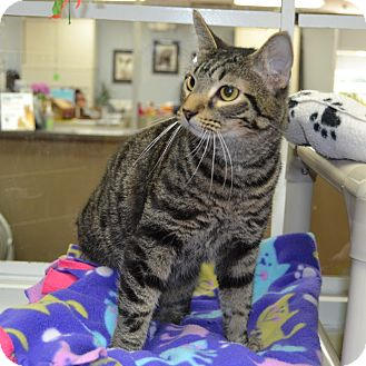 Domestic Shorthair Cat for adoption in Wheaton, Illinois - Rudy