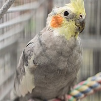 Adopt A Pet :: Apollo - Elizabeth, CO