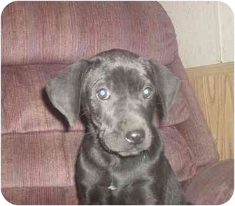 Labrador Retriever Mix Puppy for adoption in springtown, Texas - shadow