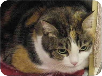 Calico Cat for adoption in Yorba Linda, California - Kaylie