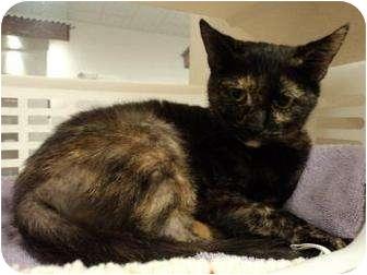 Domestic Shorthair Kitten for adoption in North Charleston, South Carolina - Tilly