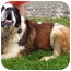 Photo 2 - St. Bernard Dog for adoption in Somerset, Pennsylvania - Bernie