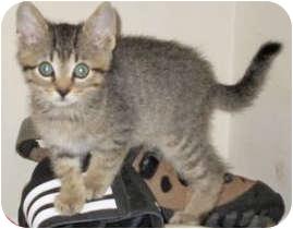 Domestic Shorthair Kitten for adoption in Mt. Prospect, Illinois - Sherlock