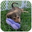 Photo 3 - Shepherd (Unknown Type)/Spaniel (Unknown Type) Mix Puppy for adoption in West Palm Beach, Florida - CHANEL
