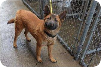 German Shepherd Dog/Shepherd (Unknown Type) Mix Dog for adoption in Chicago, Illinois - Buddy
