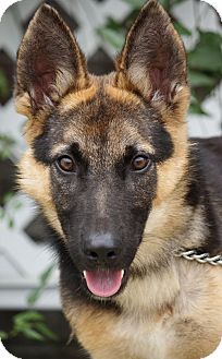 German Shepherd Dog Puppy for adoption in Los Angeles, California - Falco von Fussen
