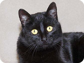 Domestic Shorthair Cat for adoption in Walnut, Iowa - Sammi