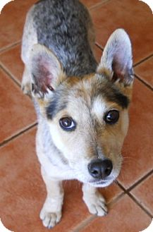 Blue Heeler Mix Puppy for adoption in dewey, Arizona - Quincy