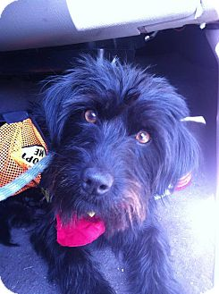Schnauzer (Miniature)/Terrier (Unknown Type, Small) Mix Dog for adoption in Fort Riley, Kansas - Willow
