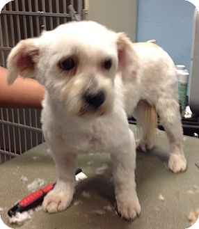 Terrier (Unknown Type, Medium)/Poodle (Miniature) Mix Dog for adoption in Thousand Oaks, California - Wyatt