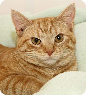 Domestic Shorthair Cat for adoption in Winston-Salem, North Carolina - Charlie Brown