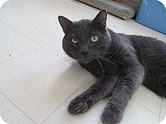 Domestic Shorthair Cat for adoption in Corinth, New York - Bandit