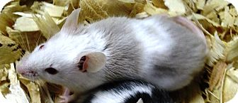 Mouse for adoption in Edinburg, Pennsylvania - Sheldon